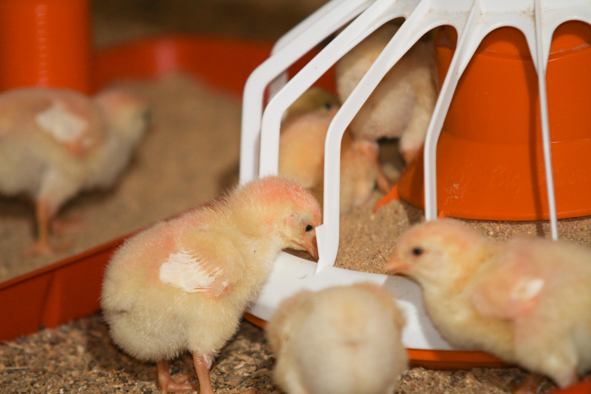 Feeding Poultry